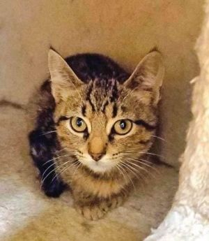 Cats for Adoption Near Indiana, IN | Petfinder