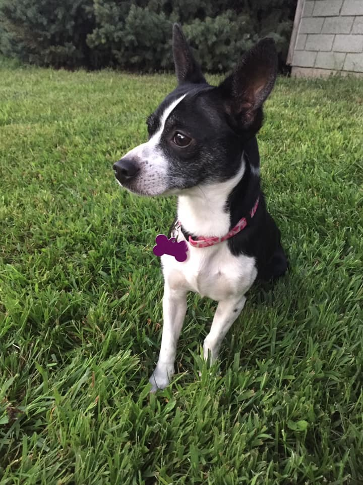 Pinky, an adopted Chihuahua & Terrier Mix in Manhattan, KS