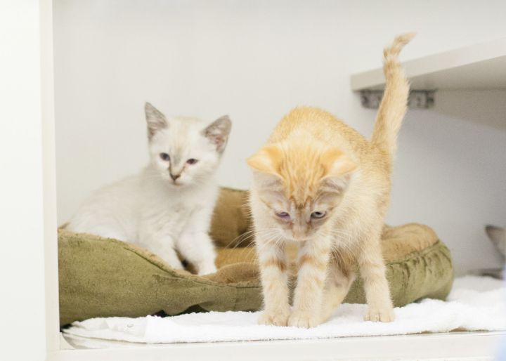 Michael & Kaden, an adopted Domestic Short Hair Mix in Cape Girardeau, MO