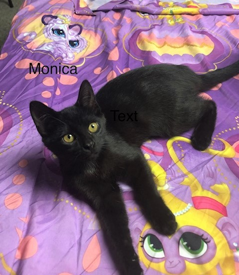 Monica, an adoptable Domestic Short Hair in Boiling Springs, PA