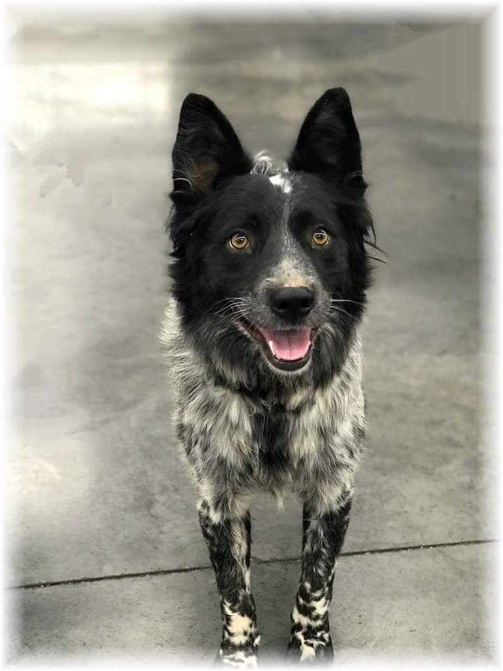 Holly, an adopted Australian Shepherd & Border Collie Mix in Las Vegas, NV