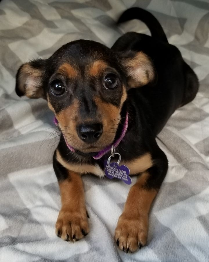 Dog for adoption - Daisy, a Chihuahua & Dachshund Mix in