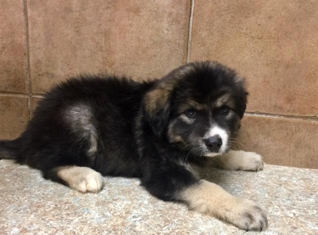 Dog For Adoption Adoption Pending Peanut A Bernese