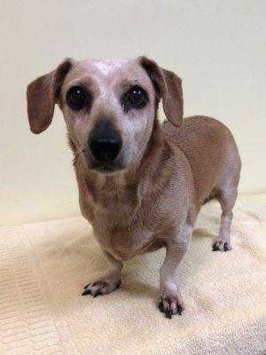 Dog for adoption - Rita, a Dachshund Mix in Fort Pierce, FL