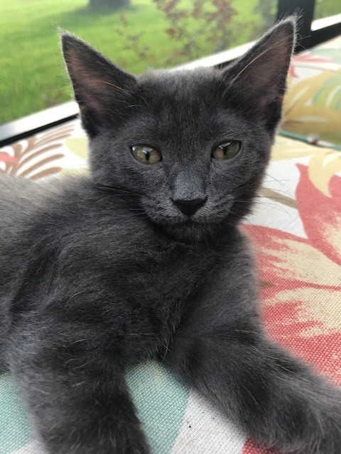 Gracie, an adoptable Domestic Short Hair Mix in Fernandina Beach, FL