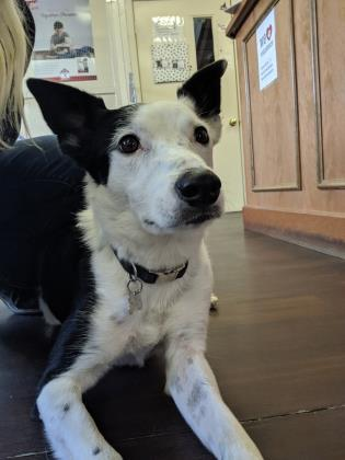 Joey, an adoptable Border Collie Mix in Prineville, OR