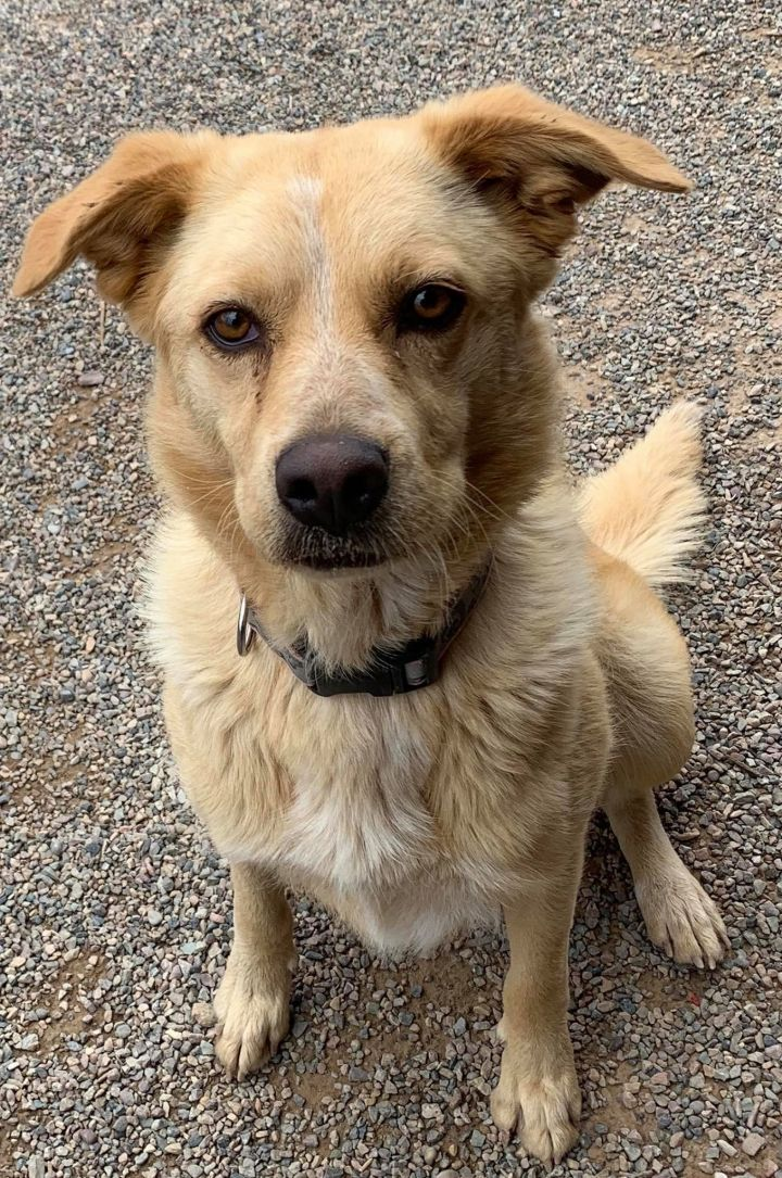 Idgie, an adoptable Golden Retriever Mix in Rifle, CO