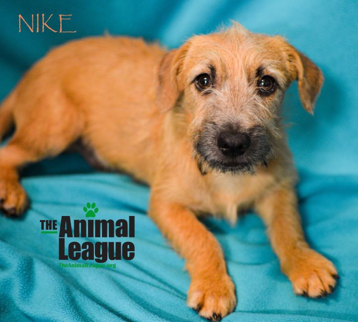 Nike, an adopted Wheaten Terrier Mix in Clermont, FL