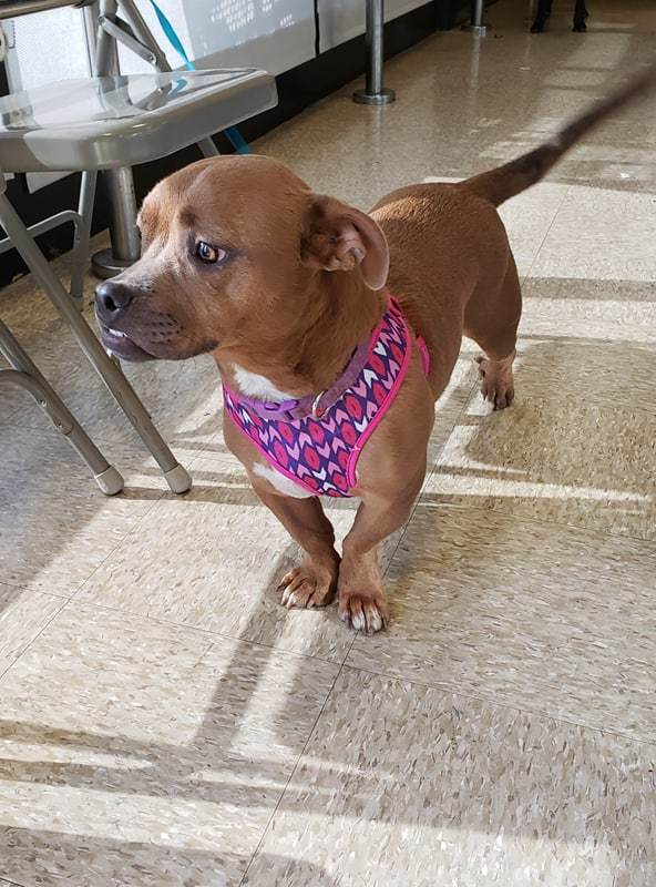 Shorty, an adopted Dachshund & English Bulldog Mix in Arlington, TX