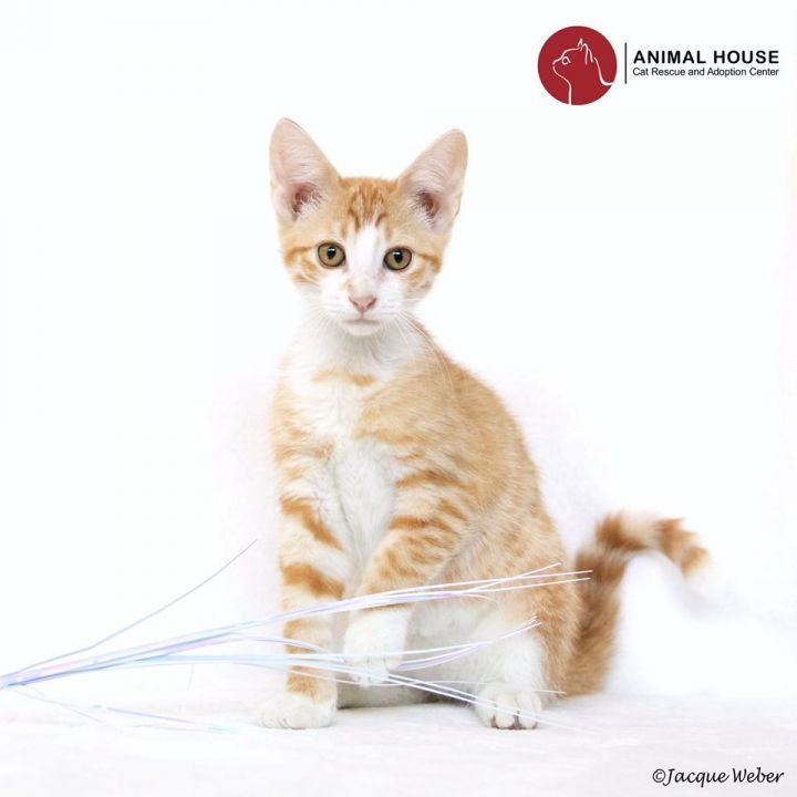 Marvin, an adoptable Domestic Short Hair in St. Louis, MO