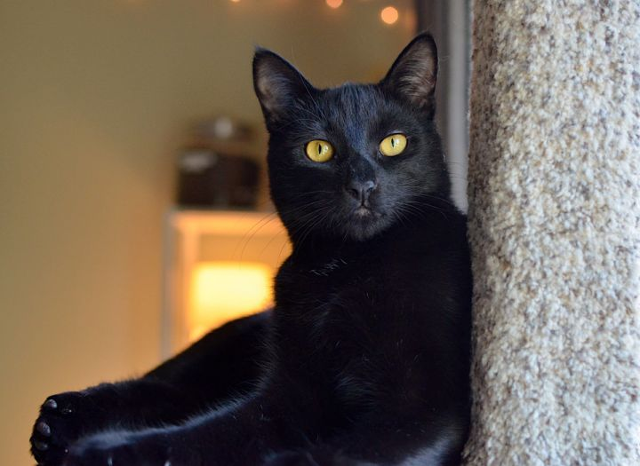 Davin, an adoptable Domestic Short Hair Mix in Springfield, OR