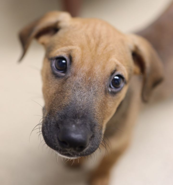 Zaxby, an adoptable Shepherd Mix in Naperville, IL