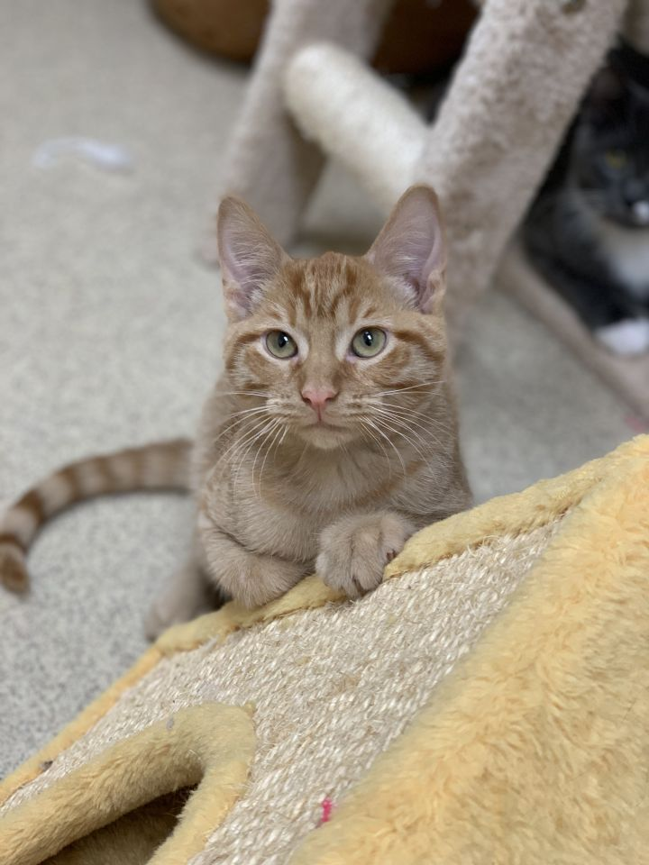 Beast, an adoptable Domestic Short Hair in Naperville, IL