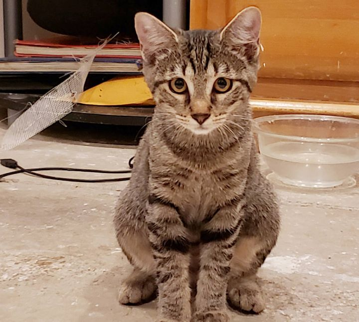 Molly, an adoptable Tabby & Domestic Short Hair Mix in Springfield, OR
