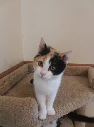 Honey, an adoptable Calico in Garfield Heights, OH