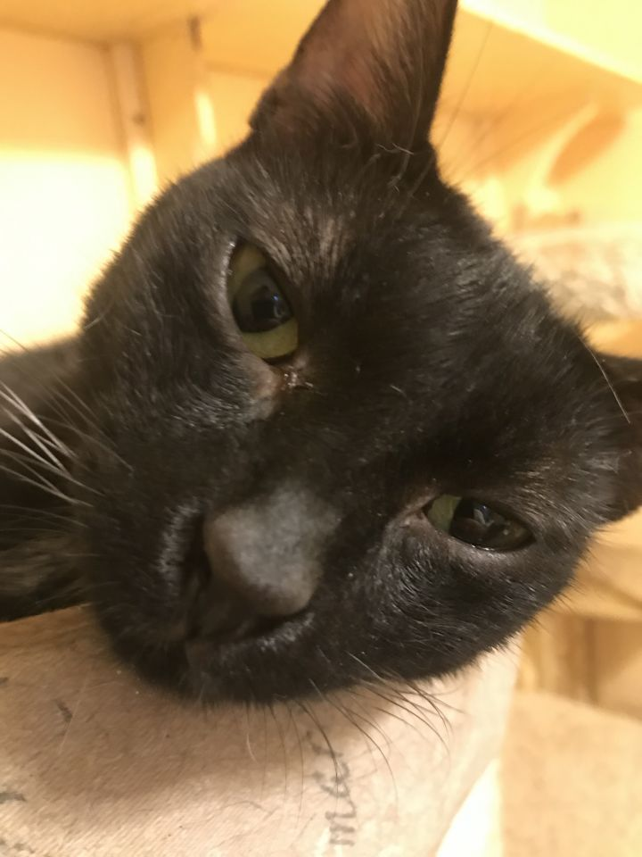 Raphael, an adoptable Domestic Short Hair in Pompano Beach, FL