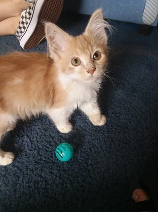 Mango, an adopted Domestic Medium Hair in Garfield Heights, OH