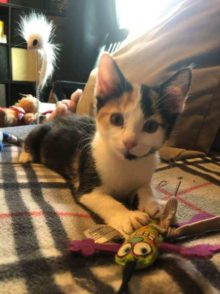 Aspen, an adopted Calico in Garfield Heights, OH