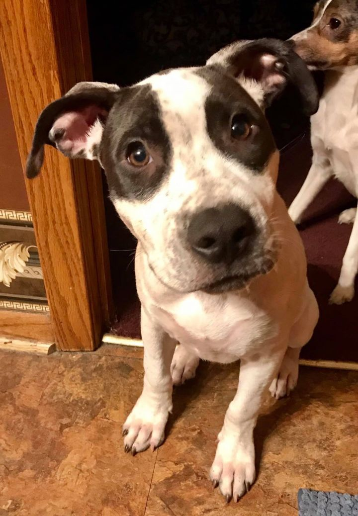 Terra, an adopted American Staffordshire Terrier & Pit Bull Terrier Mix in Saint Paul, MN