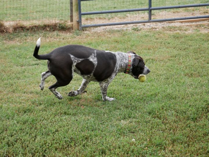 Pepper, an adoptable Cattle Dog & Pit Bull Terrier Mix in South Charleston, OH