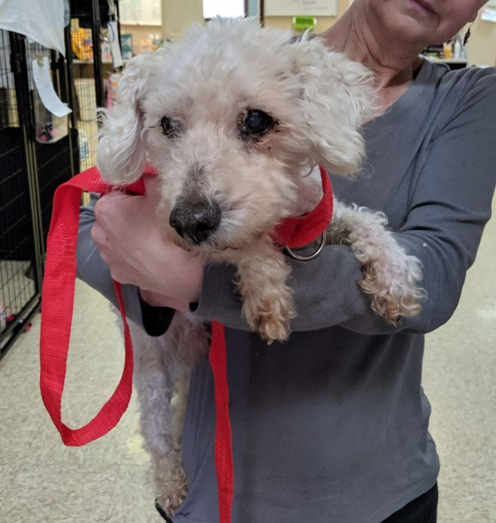 Jeremy, an adoptable Poodle Mix in Bloomington, IL