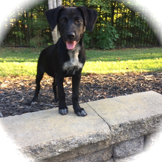 JJ, an adoptable Labrador Retriever Mix in Conover, NC