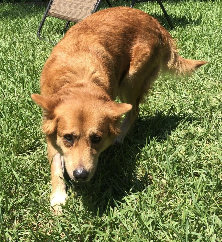 Poppy, an adopted Golden Retriever Mix in Houston, TX