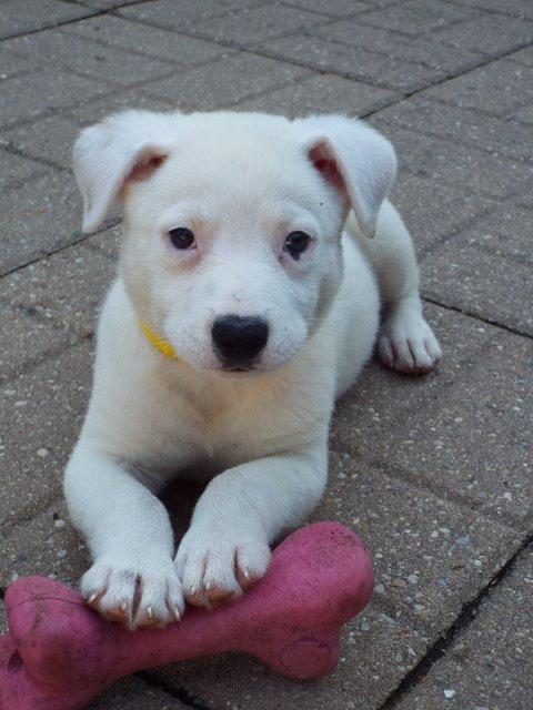 Dog for adoption - Lemberger, a Labrador Retriever Mix in