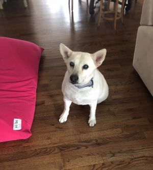 Meet Daisy This sweet gal is a 9 year old White German Shepard mix She weighs about 63 lbs Her
