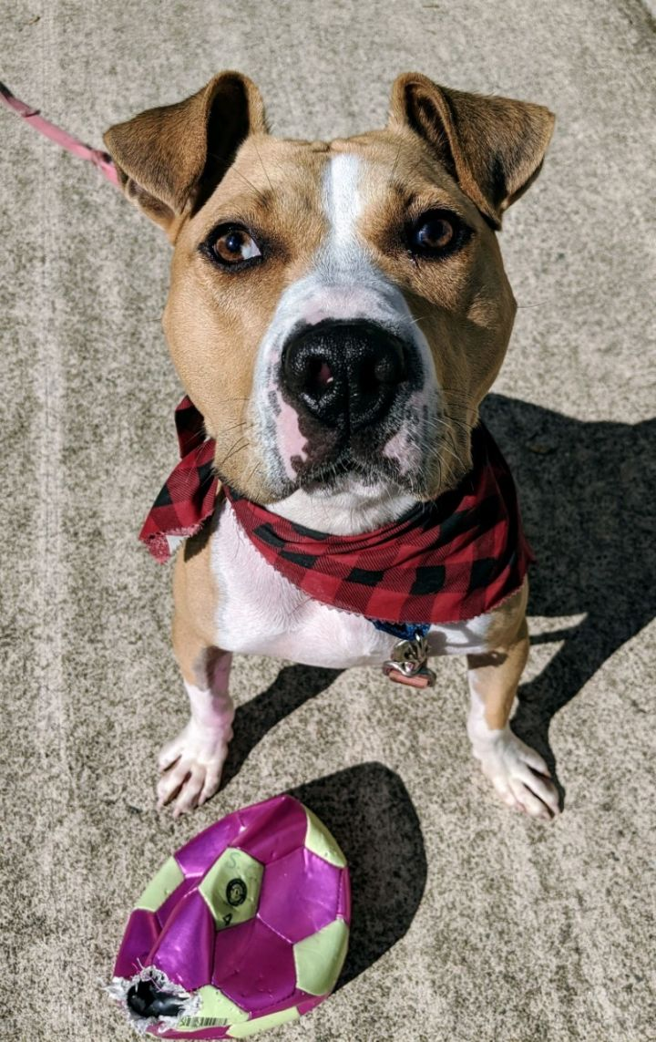 Bear, an adopted Pit Bull Terrier & Boxer Mix in Mendham, NJ