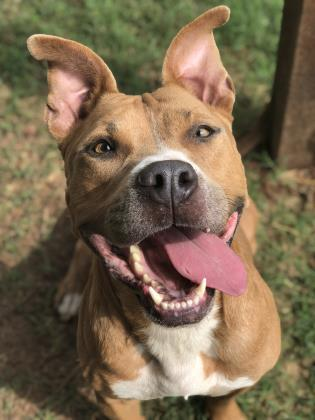 Bentley, an adoptable American Staffordshire Terrier Mix in Fort Worth, TX