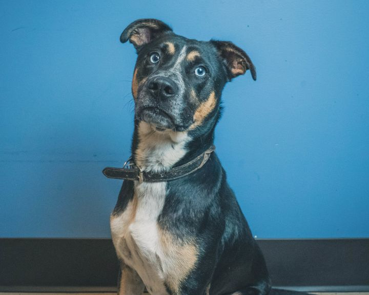 Blu, an adopted Mixed Breed in Bellingham, WA