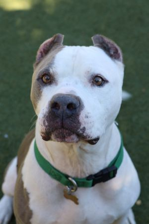This handsome hunk of a dog is Diesel He is a four year old American Bulldog mix and is just