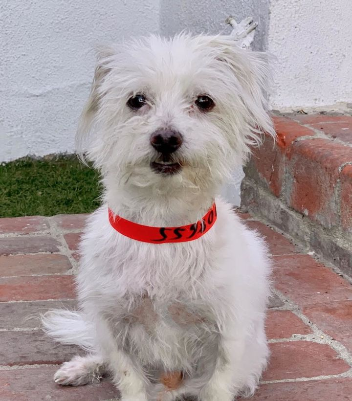 Jackson, an adoptable West Highland White Terrier / Westie & Maltese Mix in Beverly Hills, CA