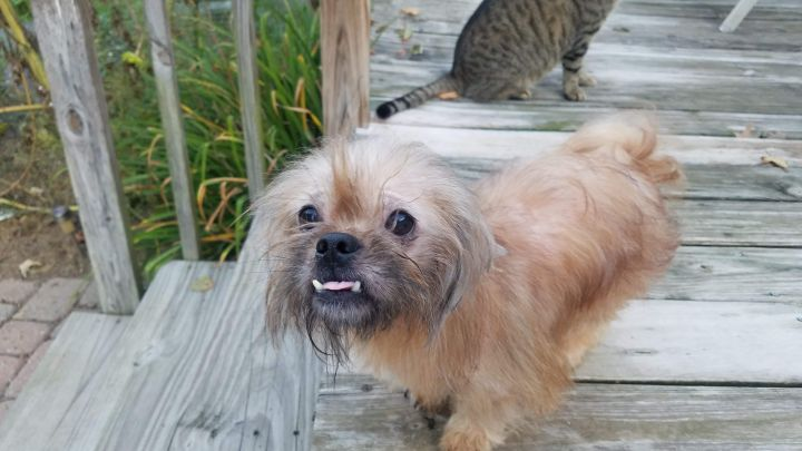 Billy, an adopted Pekingese Mix in Dublin, OH