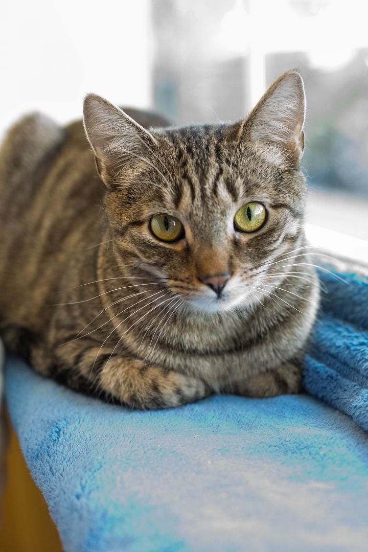 Alice, an adoptable Domestic Short Hair & Tabby Mix in Colmar, PA