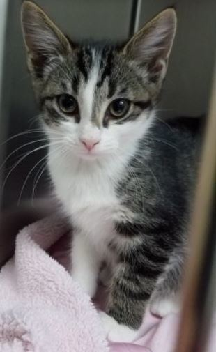 Myrcella, an adopted Domestic Short Hair & Tabby Mix in Scott Depot, WV