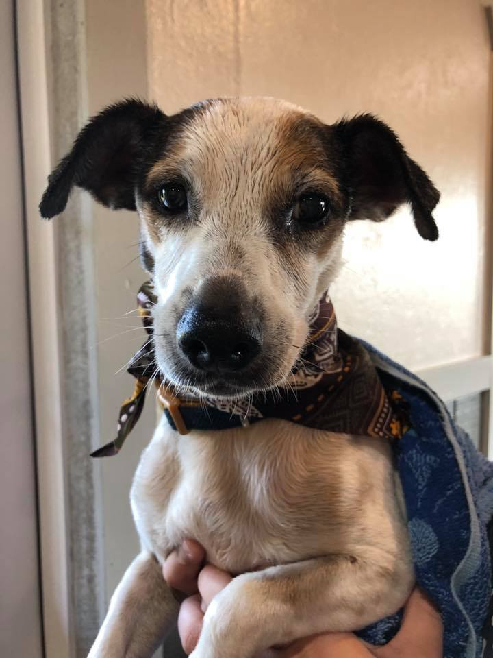Daisy, an adopted Jack Russell Terrier in South Charleston, OH
