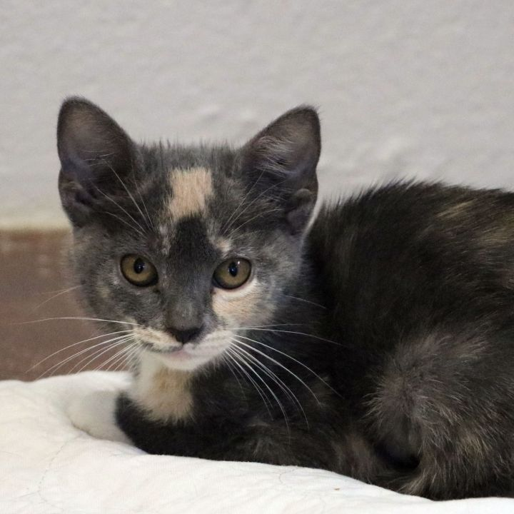 Peach, an adoptable Domestic Short Hair in Carencro, LA