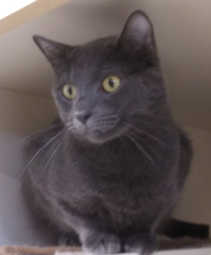 Sebastian. at PETCO ST PETERS, an adoptable Domestic Short Hair & Russian Blue Mix in St Charles, MO