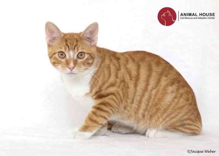 Cayenne, an adoptable Domestic Short Hair in St. Louis, MO