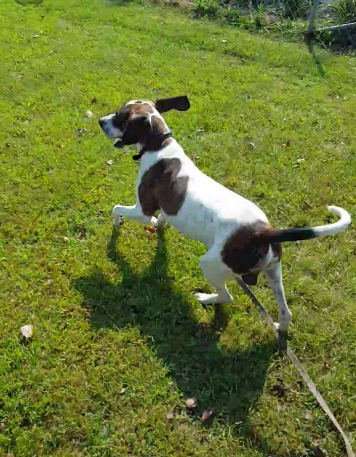 Rodney, an adopted Pointer Mix in Stanton, KY