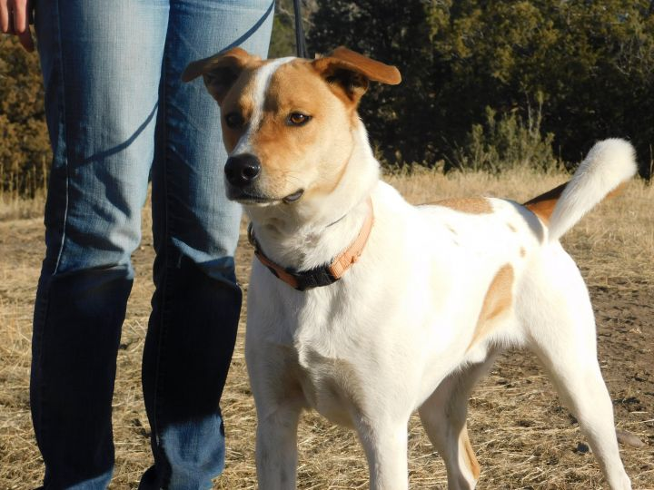 Charlie, an adoptable Cattle Dog Mix in Ridgway, CO