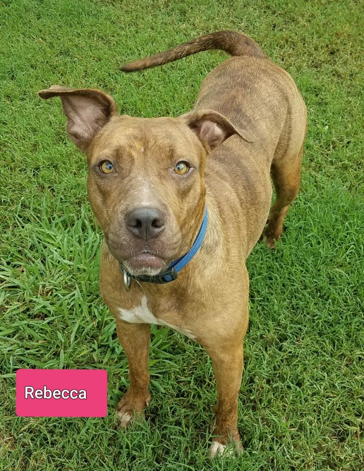 Rebecca, an adopted American Staffordshire Terrier in Saint Jo, TX