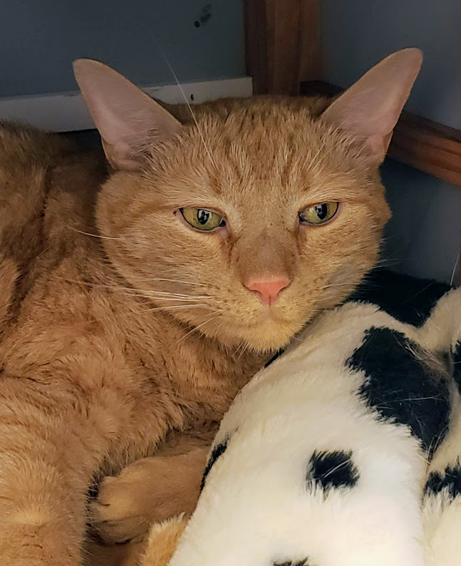 Jax, an adopted Tabby in New Rochelle, NY