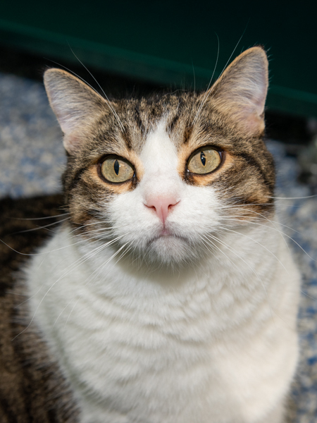 Saint Nick, an adopted Domestic Short Hair Mix in Port Townsend, WA