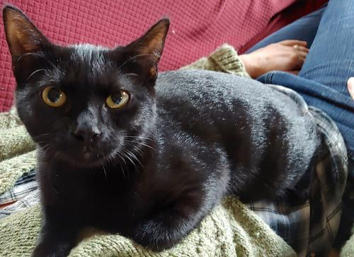 Gala, an adoptable Domestic Short Hair Mix in Springfield, OR