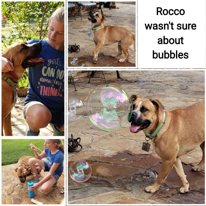 Rocco, an adoptable Rottweiler & Boxer Mix in South Windsor, CT