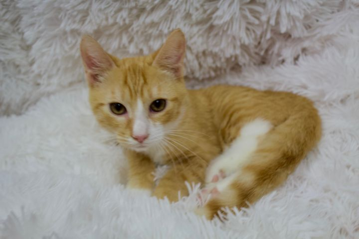 Kauai, an adoptable Domestic Short Hair Mix in Saint Augustine, FL