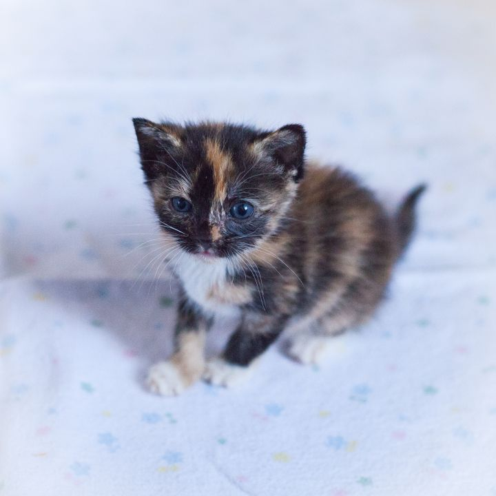Brissa, an adopted Tortoiseshell in Ponte Vedra, FL